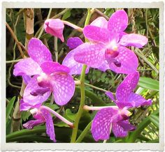 Orchids in Thailand in Nov 2004