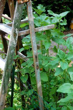 old ladders as trellises