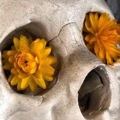 Close Up of Home Still Life. Dried Flowers in a Skulls Eye Socket. #skull #flower #stilllife (Taken with Instagram)