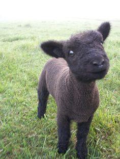 Black Babydoll Southdown Lamb