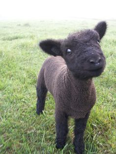 Move over teacup pigs Olde English Babydoll Southdown Sheep are about to give you a run for your money! So adorable