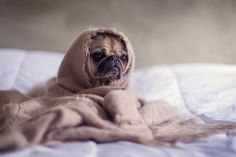 Tan Pug Covered With Brown Blanket http://ift.tt/2kYT60E