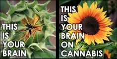 Your brain on weed!  www.wheretofindweed.com