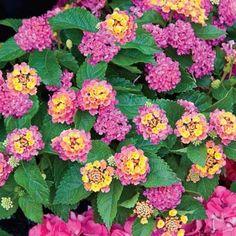 "Petite Rose Lantana Height: 12-15""  Plant Width: 12-15""  Planting Distance: 10""  Light: Sun  Bloom Time: Summer-Fall"