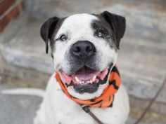 SAFE 7-12-2015 Rescue Dogs Rock NYC --- SUPER URGENT STIMPY – A0832139 aka BRUNO (Alt ID A1041656) NEUTERED MALE, WHITE / BR BRINDLE, AMER BULLDOG MIX, 9 yrs STRAY – EVALUATE, HOLD FOR ID Reason STRAY Intake condition EXAM REQ Intake Date 06/26/2015