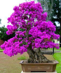 Ikebana, Plantas Bonsai, Bougainvillea Bonsai, Miniature Trees, Bonsai Garden, Growing Tree, Small Trees, Flowering Trees, Trees To Plant