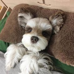 Ranked as one of the most popular dog breeds in the world, the Miniature Schnauzer is a cute little square faced furry coat. Schnauzer Grooming, Miniature Schnauzer Puppies, Schnauzer Puppy, Cute Puppies, Cute Dogs, Photo Chat, Most Popular Dog Breeds, Baby Dogs, Doggies