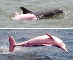 40 Incredibly Rare Photos Of Completely White Animals In The Wild – albino animal Beautiful Creatures, Animals Beautiful, Animals Amazing, Majestic Animals, Dauphin Rose, Pink River Dolphin, Rare Albino Animals, Melanism, Post Animal