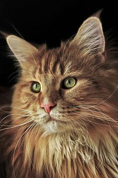 maine coon http://www.mainecoonguide.com/characteristics/ #BigCatFamily
