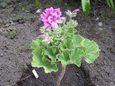 Image result for Pelargonium cucullatum subsp. tabulare Pelargonium