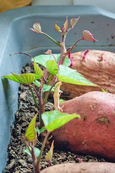 Avert, Manage, And Eliminate Black Mildew Want To Start Your Own Sweet Potato Plants, To Grow In The Garden? How about we Take A Look At The Best Techniques Read More Now On Gardener's Path. Red Sweet Potato, Sweet Potato Plant, Purple Sweet Potatoes, Sweet Potato Noodles, Hydroponic Gardening, Hydroponics, Container Gardening, Organic Vegetables, Growing Vegetables