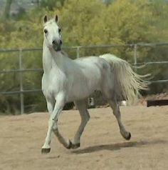 Shagya Arabian Horses for Sale | Shagya-Arabian horses for sale by the Shagya stallion Sterling Silver.