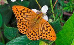 Garden butterflies - Galleries - gardenersworld.com