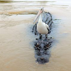 a pelican takes the croc cab