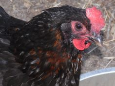 Guinea Chicken Hybrid Hen, her father was a Guinea and her mother was a Dark Broiler.