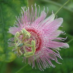 "Passiflora nephrodes 4"" pot"