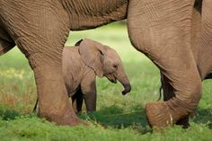 elephant poached on facebook   poaching-factor-declining-forest-elephant-populations_69.jpg