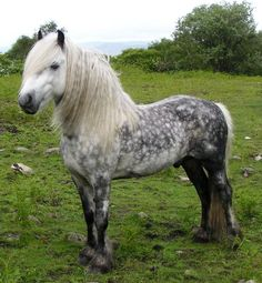 Fell Pony | For Sale - Dentview Fell Ponies
