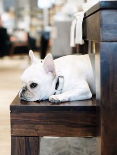 White French Bulldog Princess.