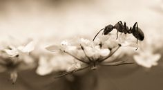 ant in black and white