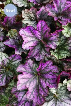 Proven Winners - Dolce® 'Blackberry Ice' - Coral Bells - Heuchera hybrid yellow plant details, information and resources. Shade Perennials, Flowers Perennials, Shade Plants, Planting Flowers, Blue Garden, Shade Garden, Blue And Purple Flowers, Plum Purple, White Flowers