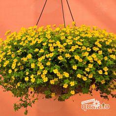 Piante Perenni fiorite - Floricoltura Quaiato