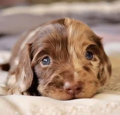 Excellent info is available on our website. Have a look and you wont be sorry you did. American Cocker Spaniel, Cocker Spaniel Puppies, English Cocker Spaniel, Spaniels, Dogs, Animals, Website, Cocker Spaniel Pups, Animales