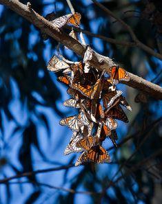 Monarch butterflies at Pismo beach
