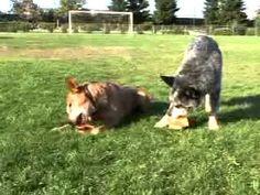 Free Shaping with an Australian CattleDog | drsophiayin.com - YouTube