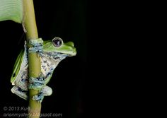 Norhayati's Flying Frog - IMG 2583 copy by orionmystery on deviantART