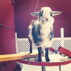 This baby goat is particularly pleased with itself