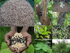 Validated Medicinal Rice Formulations for Diabetes (Madhumeh) and Cancer Complications and Revitalization of Pancreas (TH Group-138 special) from Pankaj Oudhia's Medicinal Plant Database
