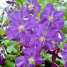 Jackmanii Clematis.  Purple flowers in early summer, sporadic flowers rest of season.  Vine