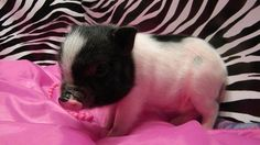 Baby Pigs/Mini Pigs and Teacup Pigs. / baby teacup pig - Go. Cute Baby Pigs, Cute Piglets, Cute Baby Animals, Animals And Pets, Funny Animals, Farm Animals, Mini Teacup Pigs, Teacup Piglets, Tiny Pigs