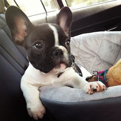 frenchie ...........click here to find out more http://googydog.com