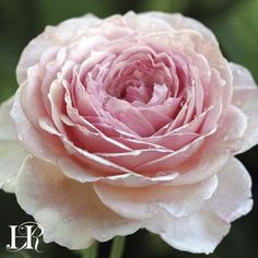 """James Galway™®  David Austin describes it like this """"A superb large shrub with long, slightly arching, almost thorn-less growth"""". This is a tough disease-free rose that is excellent for the back of a mixed border can also be grown as a climber. The flowers are 4"""" and full with over a 100 petals, with many shading to pale pink at the edges. There is a delicious Old Rose fragrance. Continual Blooming"""