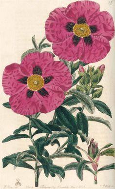 Sweet,R.   Cistinae. The Natural Order of Cistus or Rock-Rose. Ldn., Ridgway, 1825-30. Rock Rose, Botany, Flower Art, Vintage Art, Watercolor Paintings, Seeds, Roses, Tapestry, Illustrations