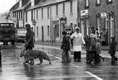 Handler Mike Lockyer brought Bengal the tiger to Doune primary school to teach children about road safety in March 1978.