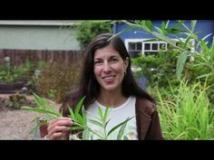 Growing Milkweed for Monarch Butterflies  ( added bonus -- milkweed smells lovely ... like lilac's )