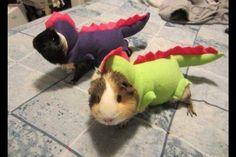 Guinea pigs in costumes..,