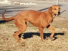 D'Ronda Plott Hound  Labrador Retriever Mix • Young • Female • Large Humane Society of Marion County Jefferson, TX