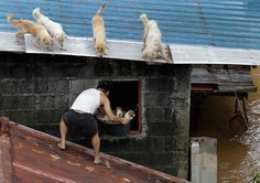Four dogs watch as a man saves a litter of puppies in Marikina City, Manila, while the house is on the verge of flooding.