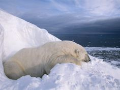 Every time I see a news brief about what climate warming is doing to the Polar Bears and their habitat, I get choked up. Effects of climate warming is no exaggeration and just so sad. I don't want to see them in a zoo because that's the only place we'll find them