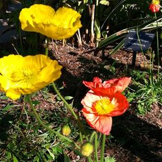 Iceland poppies (Papaver nudicaule) blooming in the Center for Desert Living Trail. #dbgflowers #fridayflowers