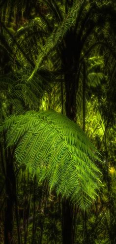New Zealand's native fern, the Ponga, growing wildly in lavish rich rain forest setting's in the Karamea Bluff Ecological Area onm the West Coast of the South Island, New Zealand.