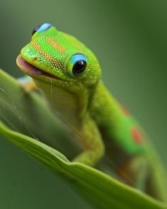Absolutely gorgeous Day Gecko!  The photographer captured the perfect shot - the gecko's little face is soooo expressive in this picture!  I love it!