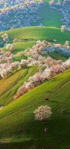 Spring apricot blossoms in Shinjang, China • photo: xinhuanet on English People's Daily. MARAVILLOSO Y AGRADABLE LUGAR DE NUESTRO MUNDO.