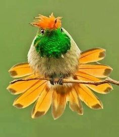 Rufous-crested Coquette Hummingbird.
