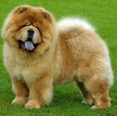 Chow chow - uma das raças de cachorro mais caras!