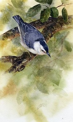 Nuthatch by Joe Garcia Watercolor ~ 10.5 x 6.5